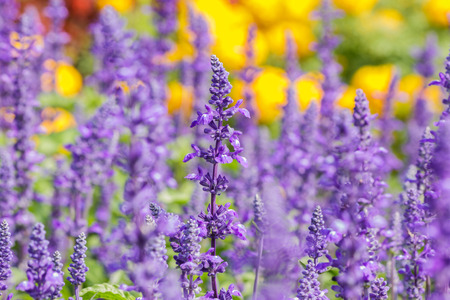 Salvia sclarea Flowers herb blooming in a garden  on softly blurred background in the garden Standard-Bild