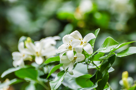 jessamine: Cosmetic Corteccia di albero, Raso-legno, Fiori bianchi chiamati Arancione Jessamine