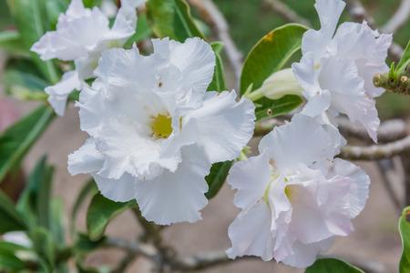 adenium obesum: White Desert Flower, adenium obesum in the garden