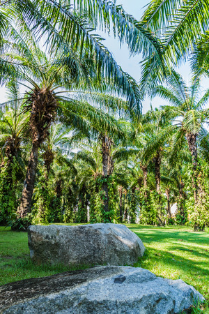 Plantation of Palms in the thailand photo