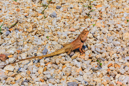 Closeup yellow crested lizard perched on the Bedrock. photo