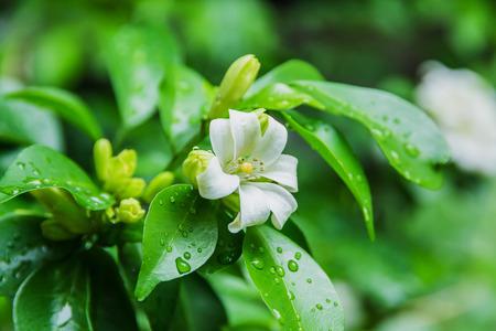 jessamine: Cosmetic Bark Tree, Satin-wood, White flowers called Orange Jessamine
