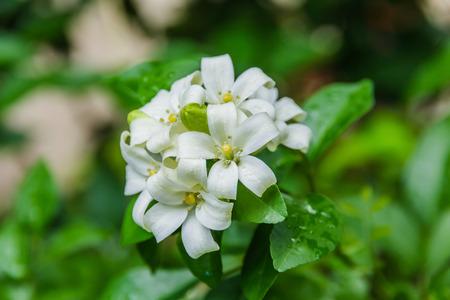 jessamine: Cosmetic Corteccia Albero, Raso-legno, Fiori bianchi chiamati Arancione Jessamine