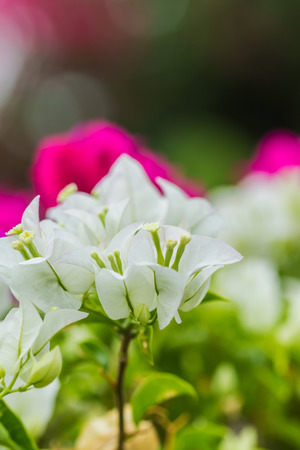 close-up White bougainvillea flower background in garden photo