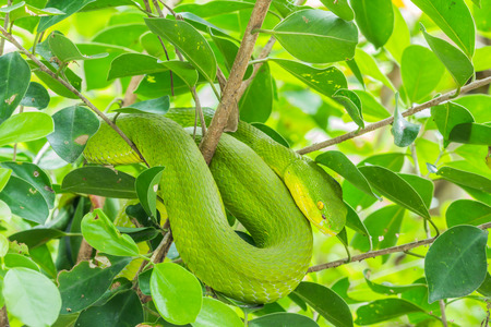 limbless: Green snake curled up on a tree, waiting to trap prey. Stock Photo