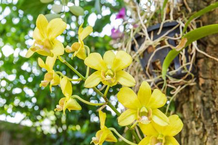orchidaceae: Yellow Orchidaceae flower in the garden in thailand