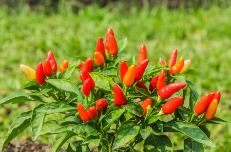 bush to grow up: Spicy chili colorful planting in the garden.