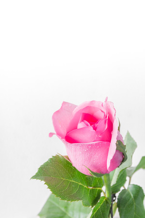 spatial: pink roses on a white background