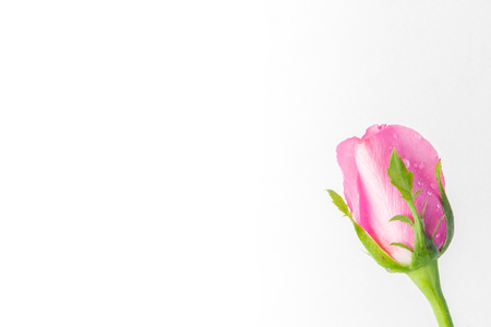 spatial: pink roses on a white background with space for your text