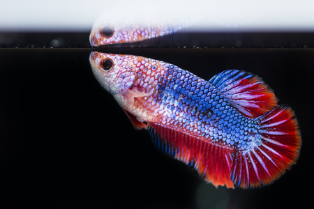dragon swim: Fighting fish (Betta splendens) Fish with a beautiful array of colorful beauty.