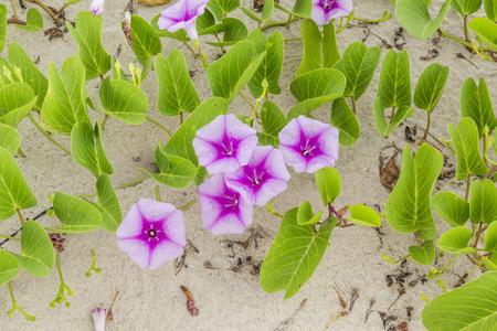 pes caprae: Ipomoea pes-caprae Sweet  or Beach Morning Glory  (Scientific Name : Ipomoea Pes-caprae)