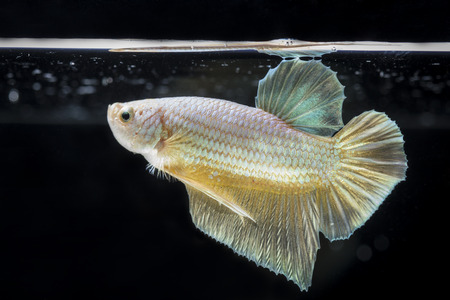 splendors: Fighting fish (Betta splendens) Fish with a beautiful array of colorful beauty.