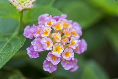 plants species: Bella Hedge fiore variopinto, Weeping Lantana, Lantana camara Linn in giardino Archivio Fotografico