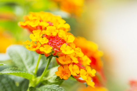 lantana: Beautiful Colorful Hedge Flower, Weeping Lantana, Lantana camara Linn in the garden
