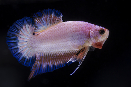 Fighting fish (Betta splendens) Fish with a beautiful array of colorful beauty.