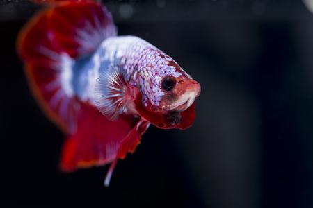 betta splendens: Fighting fish (Betta splendens) Fish with a beautiful array of colorful beauty.