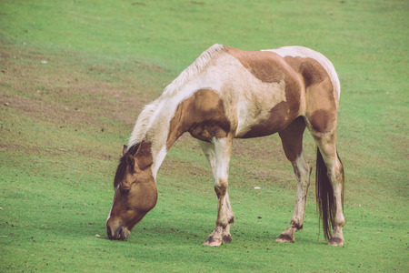 rsa: Brown and white horse standing grazing on grass in the rsa horses.