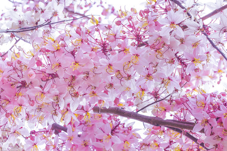 Wild Himalayan Cherry Prunus cerasoides blooming on white background in thailand Stock Photo