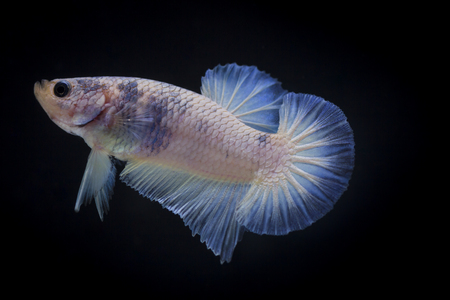 showy: Fighting fish (Betta splendens) Fish with a beautiful array of colorful beauty.