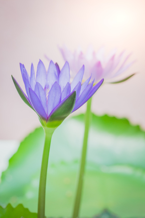 The appearance of a purple lotus flower is a beautiful symbol the appearance of a purple lotus flower is a beautiful symbol stock photo picture and royalty free image image 72747091 mightylinksfo