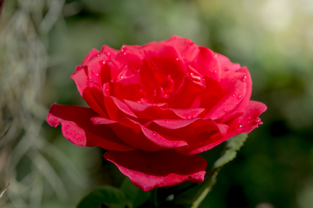 Detail of red roses in the garden for background and text. Stock Photo