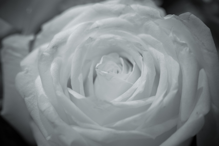 Roses in shades of black and white as a background image.