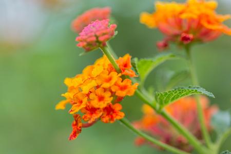 Beautiful Colorful Hedge Flower, Weeping Lantana, Lantana camara Linn in the garden