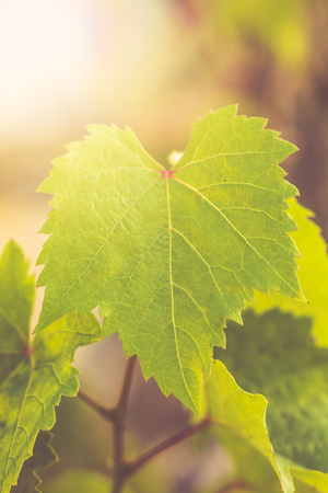 Environmental abstract background with grape leaves and light bokeh used as background and input for text. Stock Photo