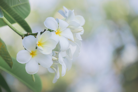 fragrant: White frangipani on a tropical flower with a light background bokeh nature use the illustrations and text