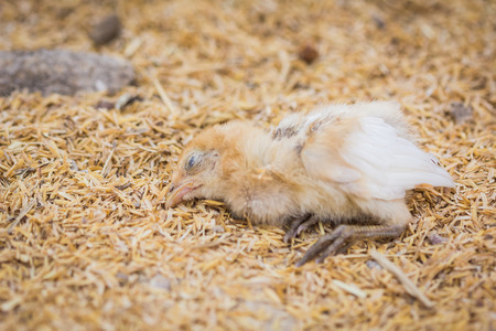 brutal: Chickens lying dead on the farm use as illustrations in farming.