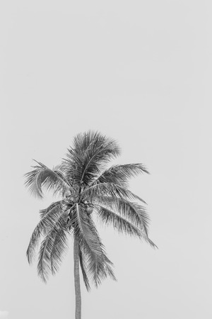 tree isolated: illustrations realistic black silhouettes isolated tropical palm trees on a white background and space for a message