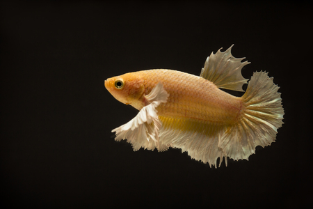 Betta or fight fish are beautifully colored in close-up view used for baking pictures and background images.