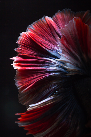 Close up texture of tail fighting fish or betta