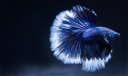 Betta fish fight blue, isolated on a black background, a beautiful pet. Stockfoto