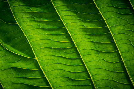 Green leaves with detailed lines and surface.