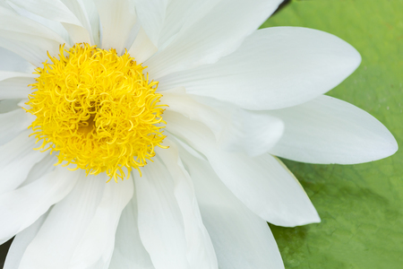 CloseUp White lotus with yellow pollen on fresh green leaf