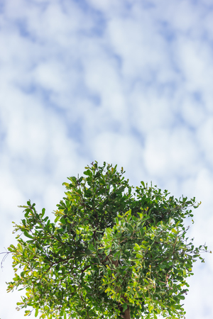 A group of green leaves isolated from the sky background and a white cloud.