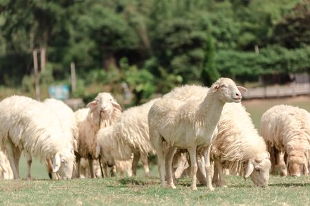 White sheep on a farm are looking for food, eaten by green meadows. Reklamní fotografie
