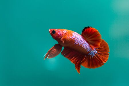 Betta red fish,siamese fighting fish,isolated on blue background.