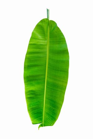 Banana leaf of natural green banana leaf fresh with isolated on white background.