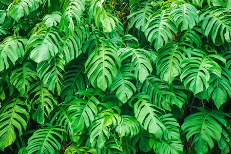 Tropical leaves Monstera, Swiss cheese plant. Green Leaves background Stockfoto