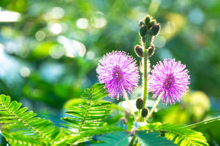 Sensitive plant / Mimosa pigra Or called sleeping grass, shameplant, sleepy plant, Showing round pink, Purple fully blossoming Increase prominence by small green leaves. Stock Photo