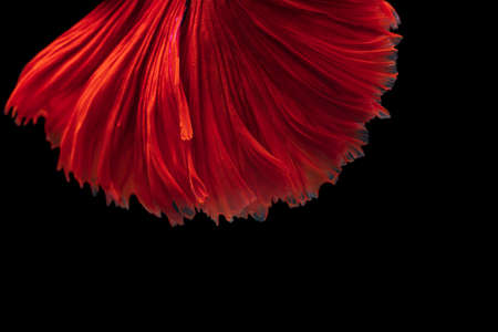 Abstract background image derived from striated surfaces Streak fluttering From the swimming of the  Red Betta fighting fish on black background