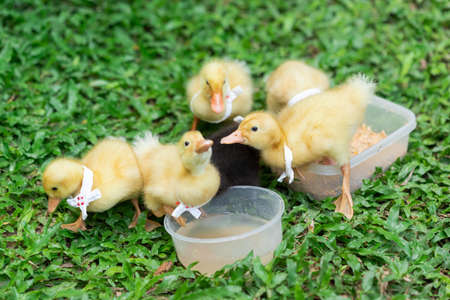 Ducklings with yellow Many cute ones Relaxing on the lawn 版權商用圖片
