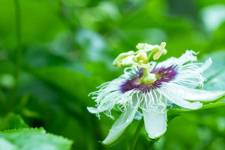 Passion fruit flowers, white and purple flowers with green leaves There is a fragrance in the organic garden.