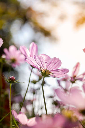 Cosmos flowers in nature, sweet background, blurry flower background, light pink and deep pink cosmos use it as an illustration for decoration and agriculture.