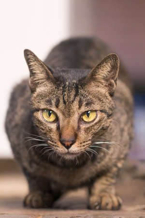 Close-up of thai cat  brown earth color, a short haired cat Standard-Bild