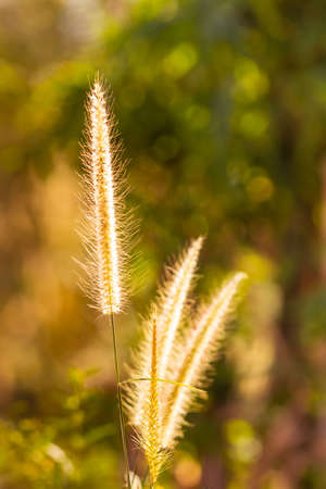 Grass flower background  with beautiful sunset and soft focus.