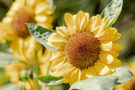 Sunflower natural of blur background.In the morning sun blurred the agricultural gardening background Close-up