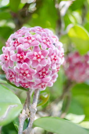 Pink, White and Red flowers of Hoya carnosa or porcelain flower or wax plant. Standard-Bild